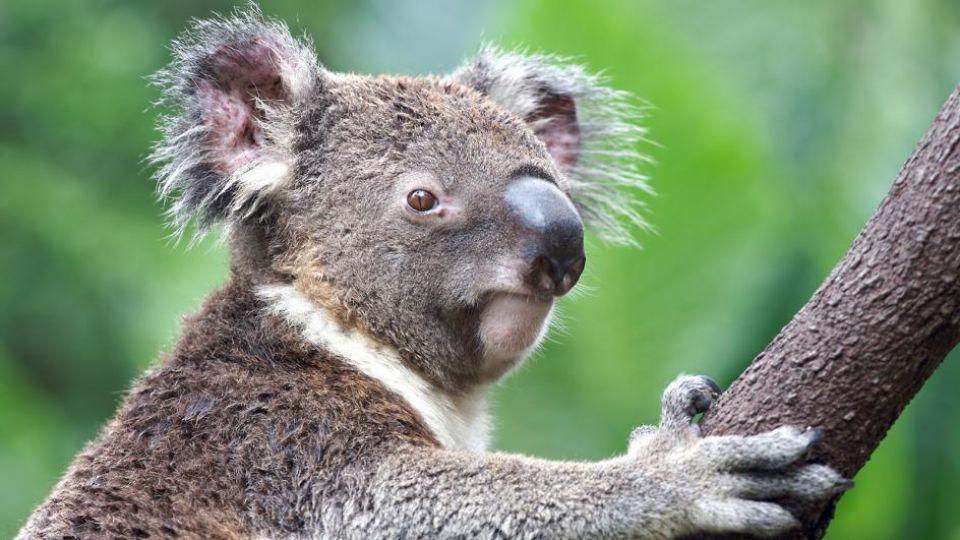 koala-closeup-tree.adapt_.945.1.jpg