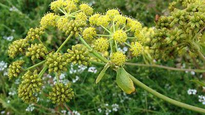 levisticum_officinale_flower.jpg